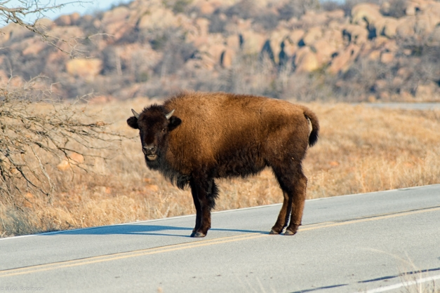 Young_Bison_Road