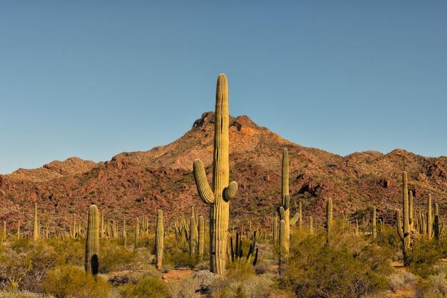 Arizona_Cactus_04
