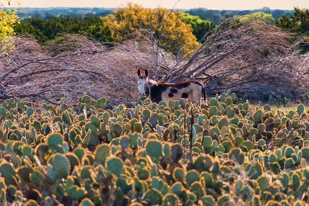 Cactus_Donkey