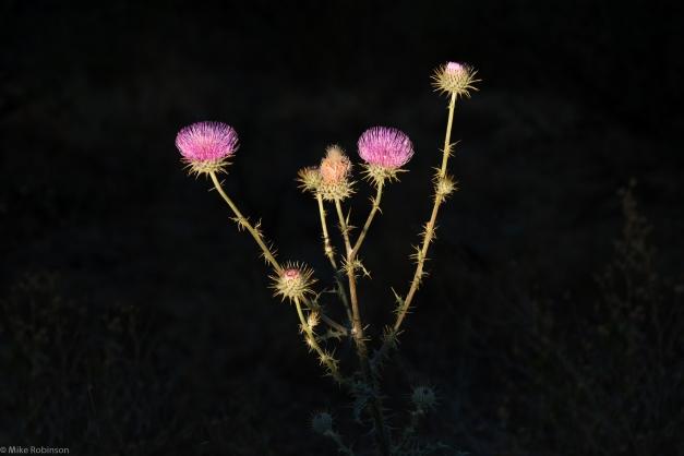 Wildflower_New_Mexico_purple_spiky