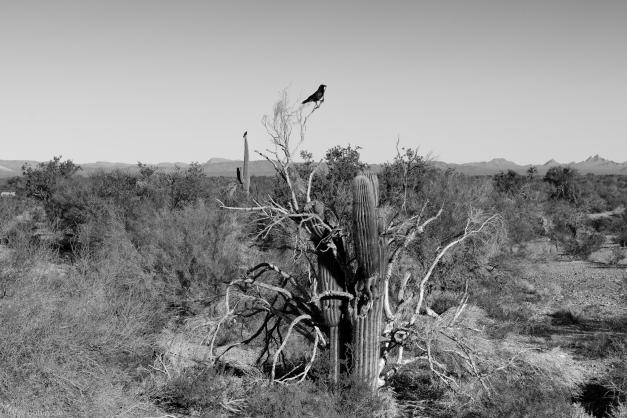 AZ_Cactus_Bird_BW