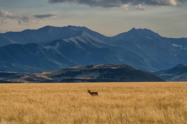 Montana_Antelope