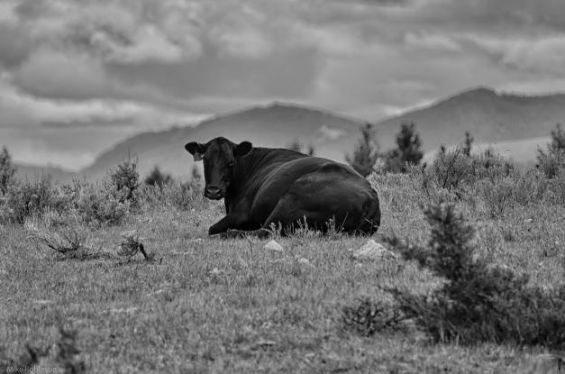 Black_Cow