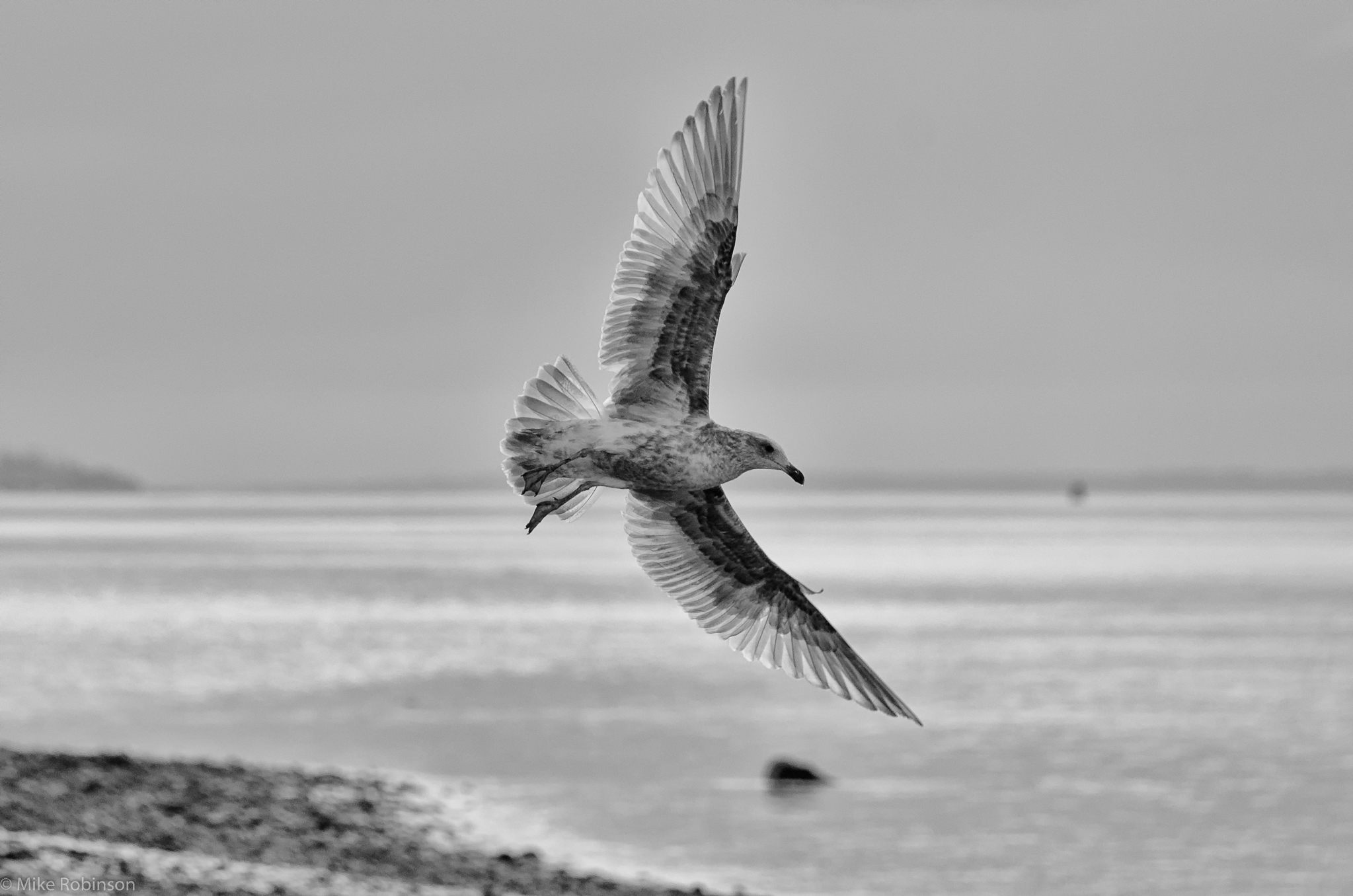 bird seagull bw flyby navigation posts