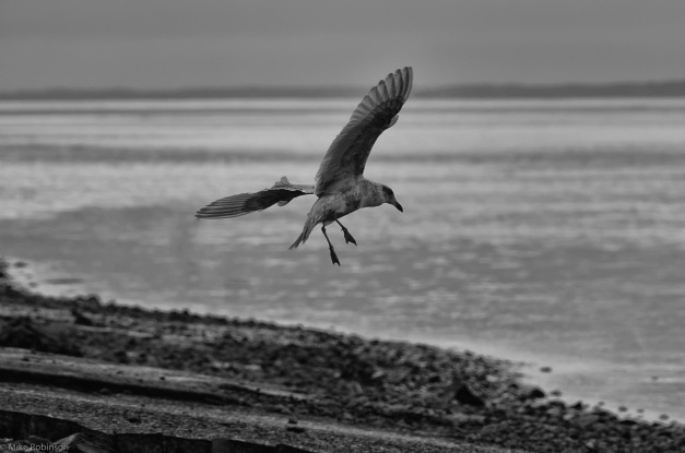 Seagull_Landing_BW