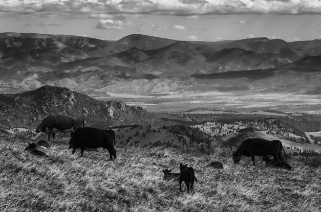 Grazing_and_Gazing_BW