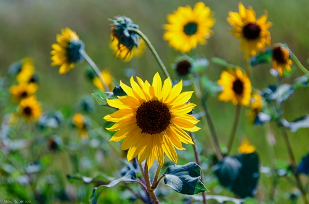 Summer_Sunflowers