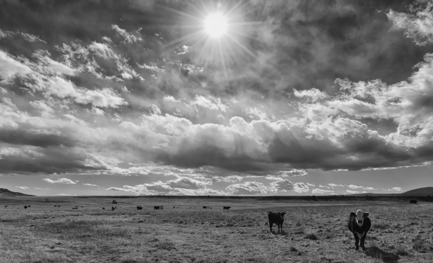 Cows_and_Clouds_BW