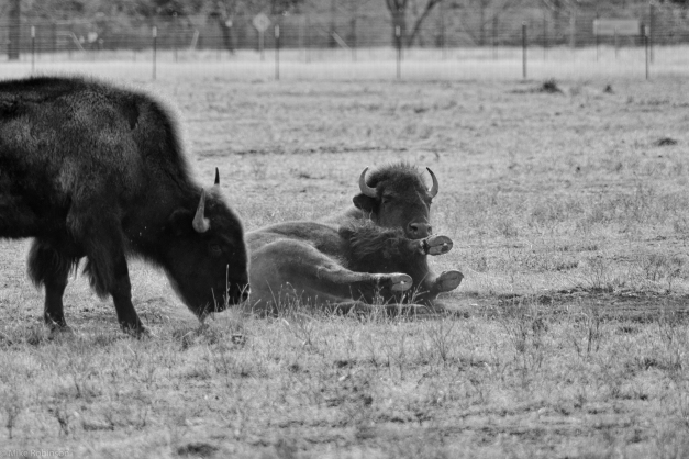 Bison_Dust_Bath_2_BW