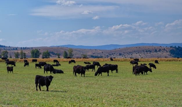 Montana_Black_Cows_Hills