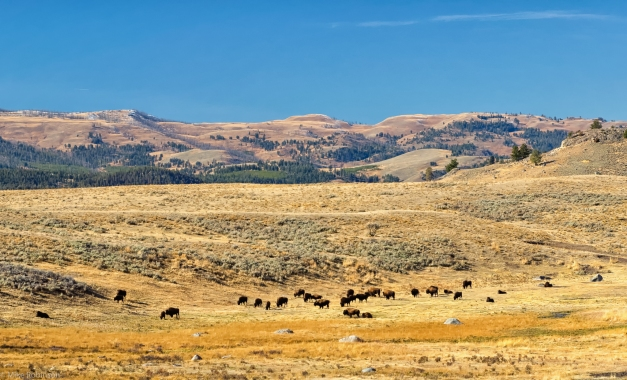 Yellowstone_Bison_and_Hills