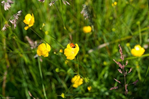Ladybug_Yellow_Flower_2