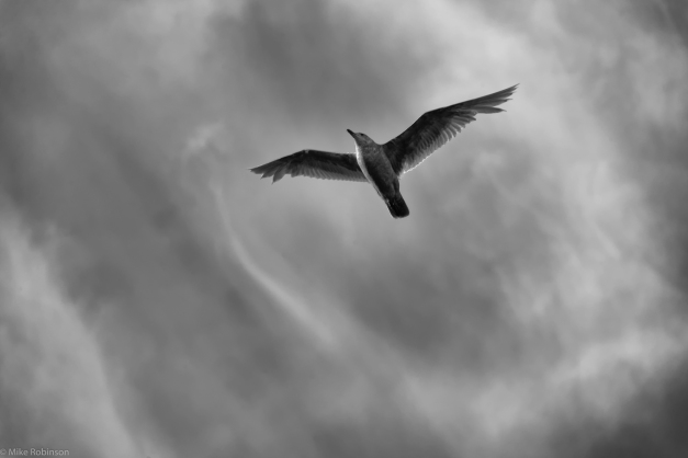 Seagull_Cloudy_Flyover_BW