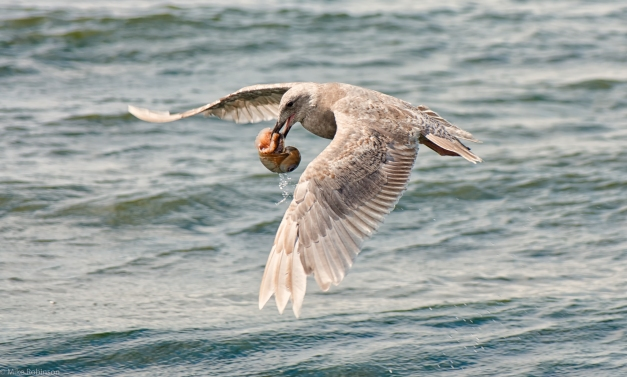 Seagull_Snack_4