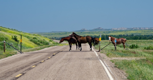 Montana_Wild_Horses_Roadblock