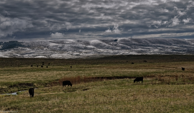 Montana_Winter_Hills_and_Cows