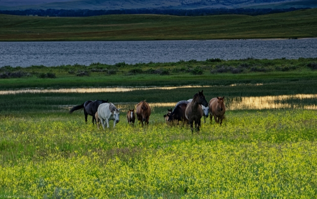 Lebo_Lake_Horses
