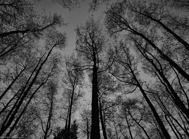 Tall_Trees_BW