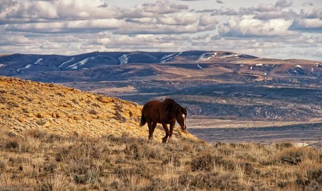 Wyoming_Wild_Horses_1