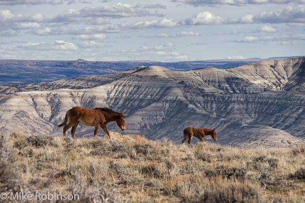 Wyoming_Wild_Horses_2