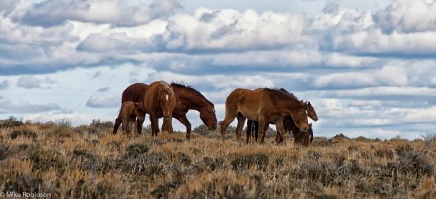 Wyoming_Wild_Horses_3