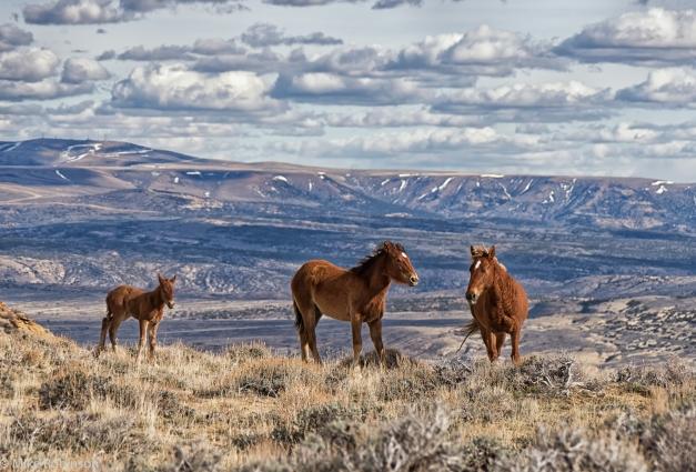 Wyoming_Wild_Horses_5