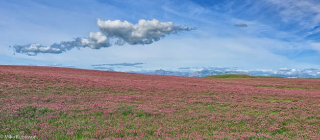 Red_Clover_Field
