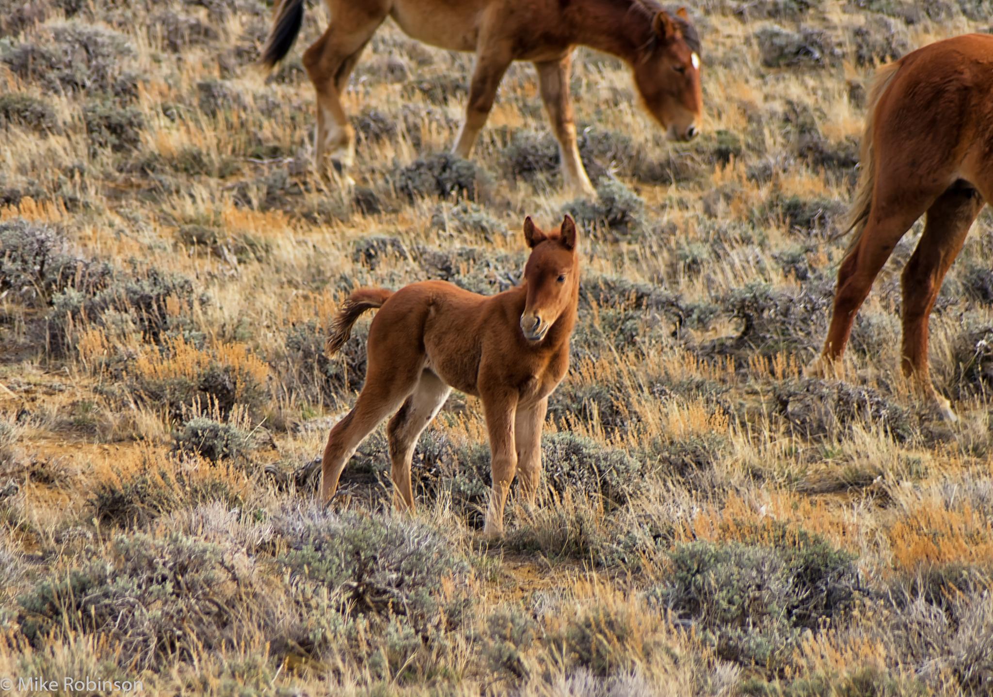Wyoming_Wild_Horses_6