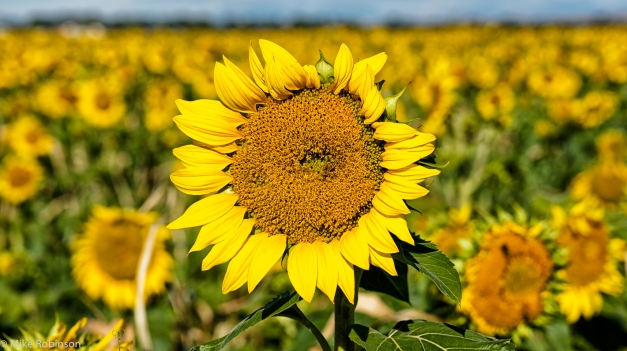 Sunflower_Morning