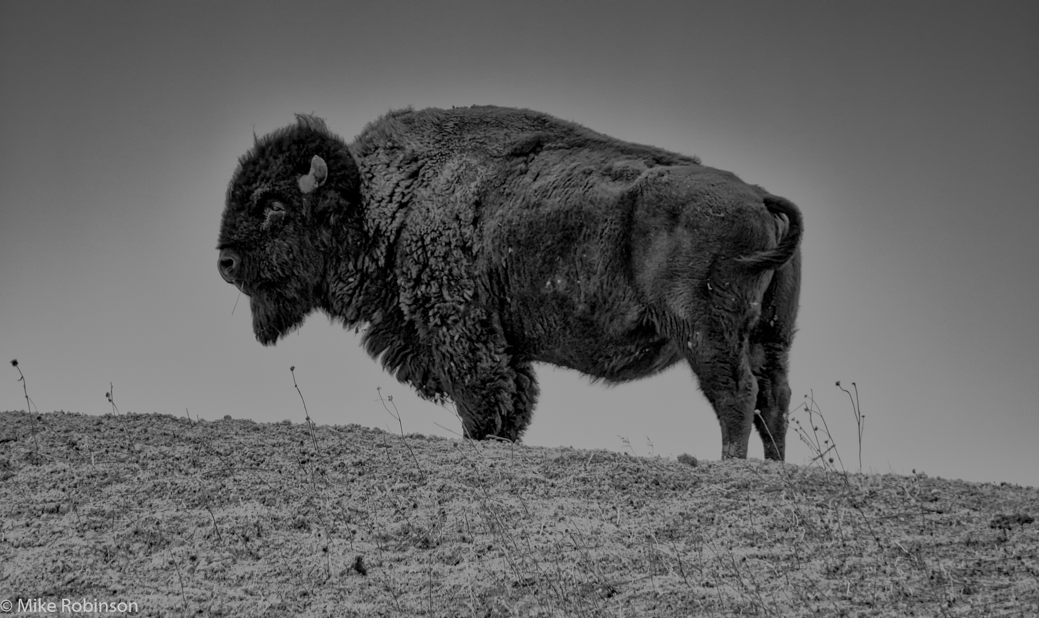 South_Dakota_Buffalo