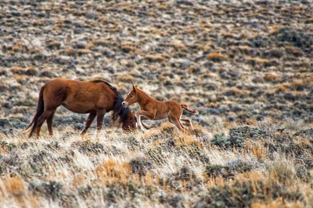 Wyoming_Wild_Horses_7