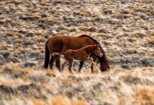 Wyoming_Wild_Horses_8