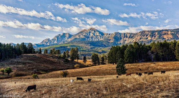 Bridger_Cows_Morning_HDR