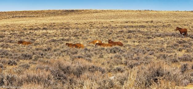 Wyoming_Wild_Horses_10