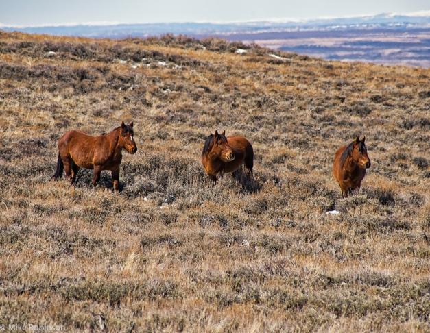 Wyoming_Wild_Horses_9