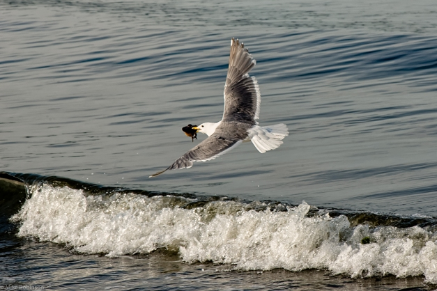 Seagull_Snack_2