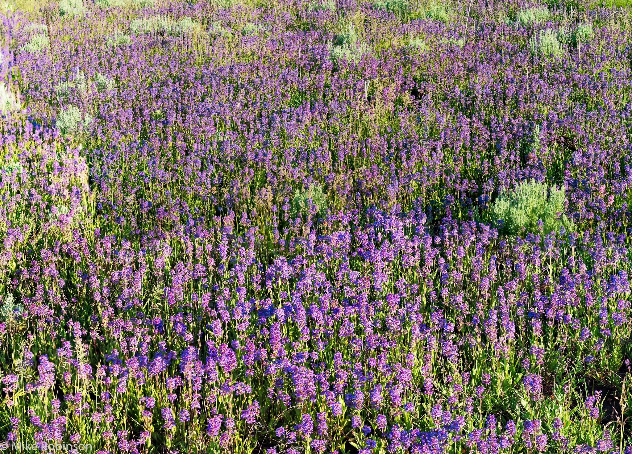 Purple_Flower_Field