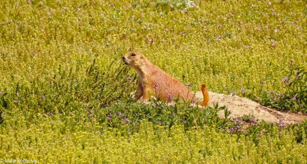 Pryor Prairie Dog 1