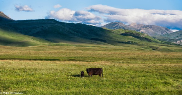 Montana Cows and Hills.jpg