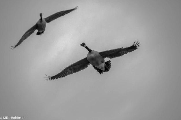 Gooses.jpg