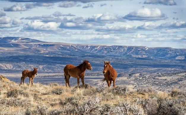 Wyoming Wild Horses 5a.jpg