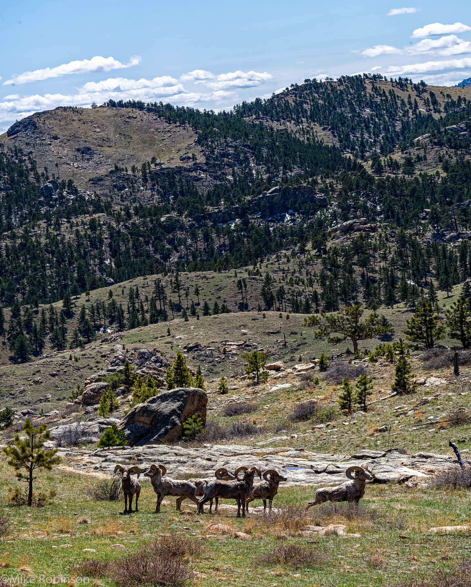 Powell Canyon Bighorns.jpg